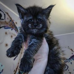Want more Black cat pictures? Want more Black cat pictures? Cute Cats And Kittens, I Love Cats, Crazy Cats, Cool Cats, Kittens Cutest, Cutest Dogs, Fluffy Kittens, Ragdoll Kittens, Tabby Cats