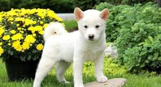 Meet Eddie a Puppy for Adoption. Shiba Inu Mix, Dogs For Sale, Rescue Dogs, Dog Breeds, Husky, Adoption, Meet, Puppies, Random