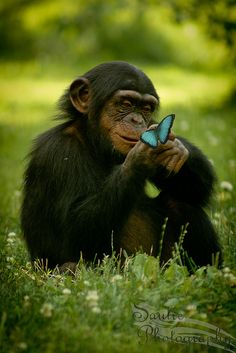 A baby Chimp is checking out a blue butterfly.