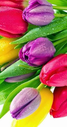 May these different coloured tulips enhance your weekend fun Tulips Flowers, Pretty Flowers, Colorful Flowers, Wallpaper Pictures, Wallpaper Backgrounds, Iphone Wallpaper, Tulip Fields, Beautiful Flower Arrangements, Flower Images