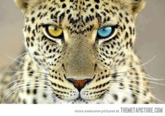 Beautiful leopard with different colored eyes…