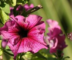 Petunias are a good choice for hanging pots since they can tolerate direct sun and heat.