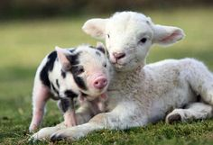 Piglet and Lamb Wallpaper from Baby Farm Animals. This is a cute picture of a spotted piglet with a lamb. Baby Farm Animals, Animals And Pets, Funny Animals, Cute Animals, Baby Sheep, Smiling Animals, Wild Animals, Miniature Pigs, Amor Animal
