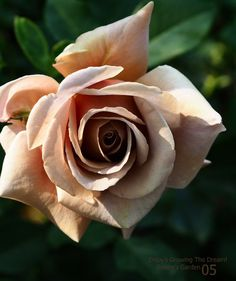 Beautiful Rose Flowers, Flowers Nature, Love Flowers, Skull Rose Tattoos, Rose Flower Tattoos, Hot Pink Roses, Cream Roses, Rose Reference, Simple Rose