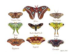 This piece is done in watercolor, and features some of the worlds most stunning moths:  Atlas, Black Witch, Cecropia, Comet, Deaths-head Hawk,