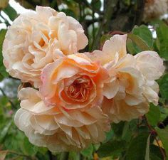 Buff Beauty rose  Will climb to 12', repeat bloomer, shade tolerant