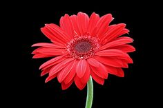 Red Gerbera Daisy, my favorite flower. Would be a beautiful tattoo!