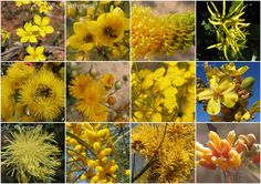 Western Australia's amazing wildflowers,  From top left to right -   Goodenia, Casia, Yellow Plumed Grevillia, Yellow Tail-flower.  Ilyarri Gum, Podolepis, Feather-flower, Kapok bush.  Dryandra, Wattle, Munjina Yellow Grevillia, Silver Grevillia