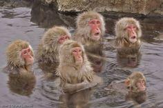 japanese hot tub monkeys - Google Search