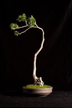Bonsai TREE I WANT ONE SOO MUCH