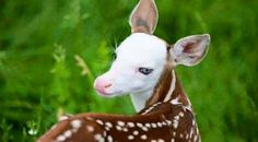 This is an incredibly rare and beautiful white-faced fawn born in the US.