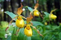 Lady Slipper Orchids by PopsDigital. These are yellow Lady Slipper Orchids found growing wild at Potawatomi State Park in Door County, Wisconsin. PopsDigital.com #doorcounty #wildflowers #flowers