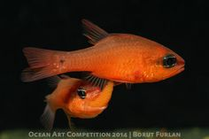 Eggs were being transferred from female fish to its male counterpart. Extremely rare to see. 1st Place Marine Life Behavior|Underwater Photography Guide