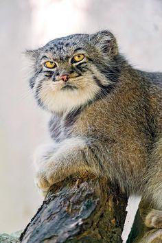 The Manul or Palas' cat from Central Asia. An endangered species that do…