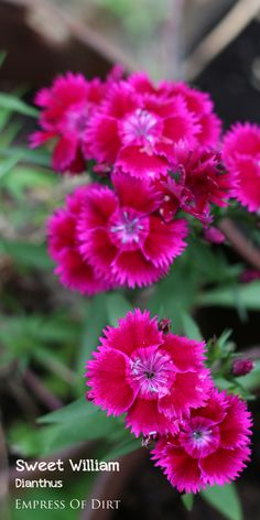 Sweet William (dianthus) is one of many flowers that makes a cottage-style garden lovely.