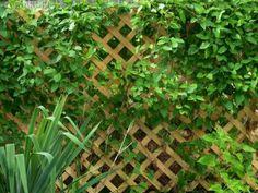 entretien de jardin facile-treillis-palntes-grimpantes-haie