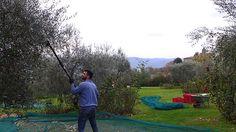Olive harvest at Villa le Barone Chianti