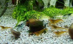 Zwerggarnelen beim futtern eines Spirulina Tabs. caridina aquarium nano