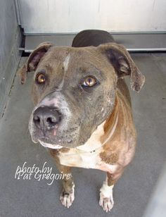 A4413681 My name is Bobos. I am a very friendly 4 yr old female blue/brown/white pit bull mix. My family left me here on April 9. available 4/13/15. located in bldg 4 - no public view Baldwin Park shelter https://www.facebook.com/photo.php?fbid=956065964405241&set=a.705235432821630&type=3&theater