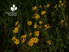 Texas Star wildflower