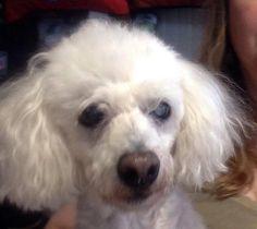 Poodle (Miniature) dog for Adoption in Columbia, TN. ADN-488549 on PuppyFinder.com Gender: Female. Age: Senior