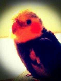 My cockatiel Smokey Joe