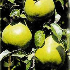 Pear Tree, Four in One - Fruit Trees - Trees Shrubs Pear Trees, Fruit Trees, Unique Trees, Delicious Fruit, One Tree, Garden Seeds, Trees And Shrubs, Trends, Gardening