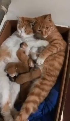 Funny Cute Cats, Cute Baby Cats, Cute Cats And Kittens, Cute Little Animals, Cute Funny Animals, Kittens Cutest, Ragdoll Kittens, Tabby Cats, Funny Kittens