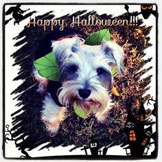 #SChnauzer ....Happy Pumpkin Day :)