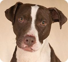 Chicago, IL - American Pit Bull Terrier. Meet Pops, a dog for adoption. http://www.adoptapet.com/pet/14236810-chicago-illinois-american-pit-bull-terrier
