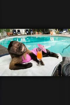 Meal Ticket: At just 18 years old, Crystal the Capuchin monkey has the weight of NBC on her tiny shoulders. She's pictured lounging at Chateau Marmont Cute Funny Animals, Funny Animal Pictures, Cute Baby Animals, Cute Baby Monkey, Pet Monkey, Capuchin Monkey Pet, Funny Qoutes, Cute Creatures, Kauai