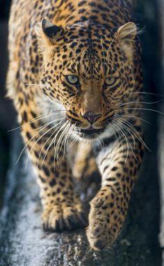 Leonie walking down the log (by Tambako the Jaguar)