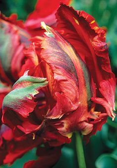 Admiral De Constantinople, 1665 - One of two parrot tulips surviving from the 1600's.