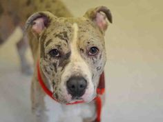 DEUCE - A1033181 TO BE DESTROYED - 4/18/15 - ** NEW HOPE RESCUE ONLY ** Deuce was a happy pup found tied to a parking sign, a local dog that seemed to be abandoned for three days. The finder described the Pittie and Catahoula mix as outgoing and playful. The NYCACC tested him after arrival, because he was scared they have attached a New Hope Only rescue to his SAFER. He did fine with food, toy, and rawhide, even dog to dog was very good, the look scared him, so they skipped handling testing…