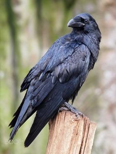 RAVEN. Common Ravens are smart, which makes them dangerous predators. They've been seen waiting in trees as ewes give birth, then attacking the newborn lambs.Common Ravens can mimic the calls of other bird species. When raised in captivity, they can even imitate human words