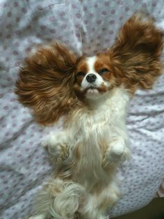 Find Out More On Smart Cavalier King Charles Spaniel Puppies And Kitties, Cute Puppies, Cute Dogs, Doggies, King Charles Puppy, Cavalier King Charles Dog, Cavalier King Spaniel, Baby Animals, Cute Animals
