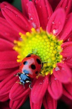 Ladybug in a daisy