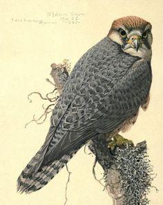 Fuertes, Louis Agassiz (1874-1927) - Album of Abyssinian Birds & Mammals 1930 (Abyssinian Lanner) - 1-32. #vintage, #animals, #bird