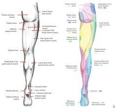Human Muscle Diagram Diagram Of Knee Tendons Inspirational Human Muscle System Body. Human Muscle Diagram The Human Muscle Anatomy Diagram Of Anatomy. Hip Muscles Anatomy, Skeletal Muscle Anatomy, Muscular System Anatomy, Human Muscular System, Human Muscle Anatomy, Nerve Anatomy, Human Anatomy, Leg Muscles Diagram, Muscle Diagram