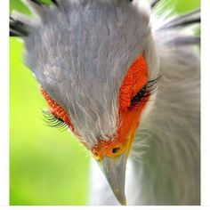 Saturday evening on Pinterest doing vital research.  Who knew Secretary birds had such luscious lashes?  #sighthudamded #secretarybird #natureisamazing #birds #perfectlashes #peoplepayforlasheslikethat #whenigrowupiwanttobeasecretarybird