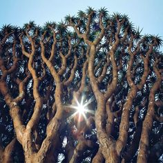 Yemen's Socotra Island: In the Land of the Dragon's Blood Tree : Condé Nast Traveler Socotra, Places Around The World, The Places Youll Go, Dracaena Cinnabari, Dragon Blood Tree, Arabian Sea, Rare Species, Christmas Island, Exotic Plants