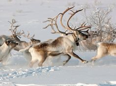 Dasher? Dancer? A lively pack of reindeer run through the snow in the beautiful countryside of Karasjok, Norway.