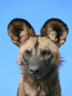 wild-dog-portrait