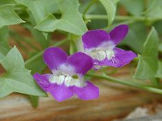Maurandella antirrhiniflora (Snapdragon vine) - deciduous our zone, needs shade in our area, mine is planted under a texas mountain laurel (likes about the same amount of water)  host plant for common buckeye