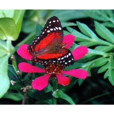 Trinidad and Tobago Butterfly Photo Galleries ❤ liked on Polyvore