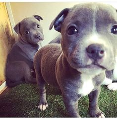 Double Trouble Cuties!! #Pitbullsofficial