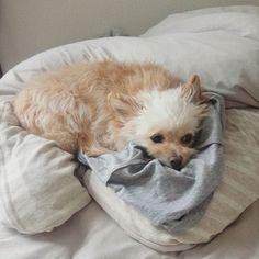 パパの脱いだ服の上でいつも寝るぼー太郎さんw 服くさくないよ🐶w  #ぼー太郎さん #犬 #犬バカ部 #愛犬 #愛犬家 #bog #dogs #dogs_of_instagram #チワプー  #ミックス犬 #ミックス犬同好会 #チワプー会 #ふわもこ部 #わんこ  #チワワ #ハーフ犬 #いぬすたくらぶ #いぬすた #わんすたぐらむ  #今日のわんこ #わんこのいる生活  #わんこlove #岩手 #盛岡