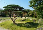 Pinus sylvestris 'Watereri' - Le Jardin d'Yves - Les galeries photo de plantes de GardenBreizh Japanese Plants, Japanese Tree, Golf Courses, Sculpture, Beautiful, Gardens, Photo Galleries, Plant, Sculpting