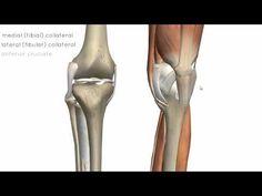 Knee Joint 02   3D anatomy tutorial on knee joint