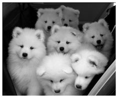 fluffy Samoyed puppies to brighten your morning Samoyed Dogs, Pet Dogs, Dog Cat, Pets, Doggies, Siberian Samoyed, Chiweenie Dogs, Bloodhound Dogs, Labrador Puppies